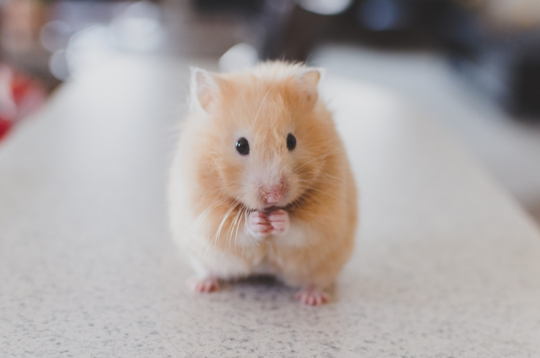cute hampster
